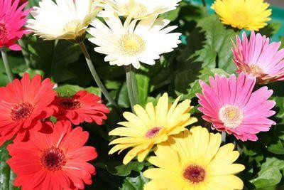 Bulk Gerbera Daisy Seeds Revolution Mix