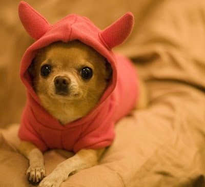 images of chihuahua puppies | Pictures of Cute Chihuahuas Puppies | CUTE PUPPY PICTURES