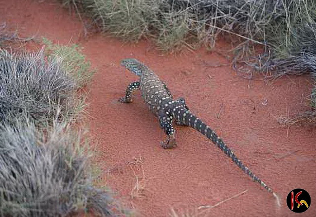 The Goanna lizard from Central Australia is a totemic spirit to Aboriginal artists who often depict them in their Goanna Dreaming paintings to honour their ancestral spirits