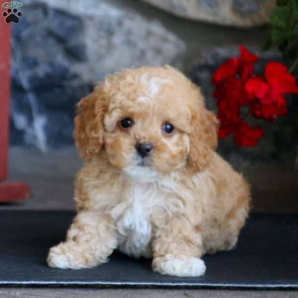 Isabelle Cavapoo Puppy For Sale In Pennsylvania Cavapoo Puppies Puppies Cavapoo Puppies For Sale