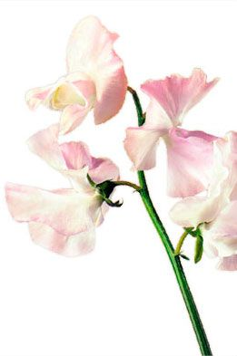 ...of Sweet Peas. I love their scent, as well as what they represent to me: Love.
