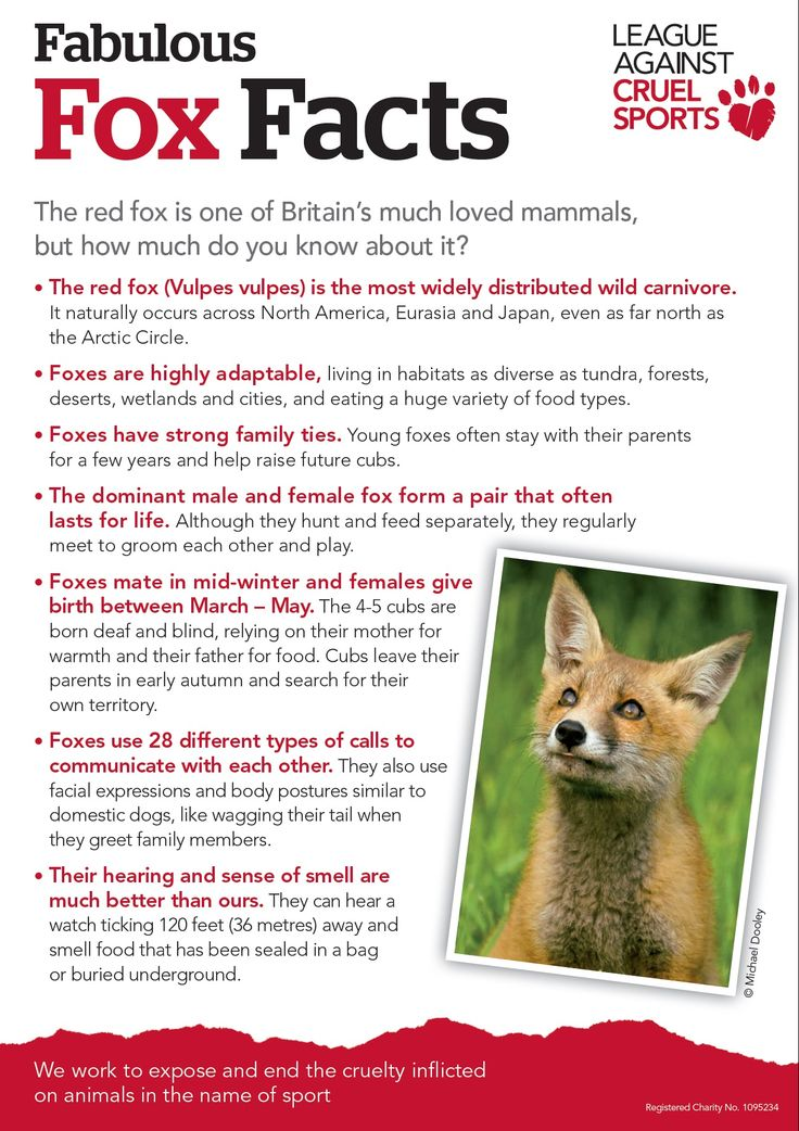 Some fabulous fox facts for Foxy Feb :-) www.league.org.uk/foxyfeb
