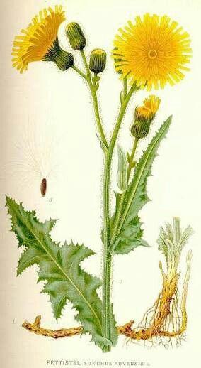 Bunga Tempuyung