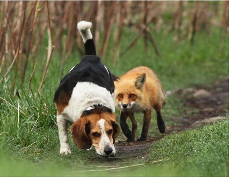 Fox hunt?