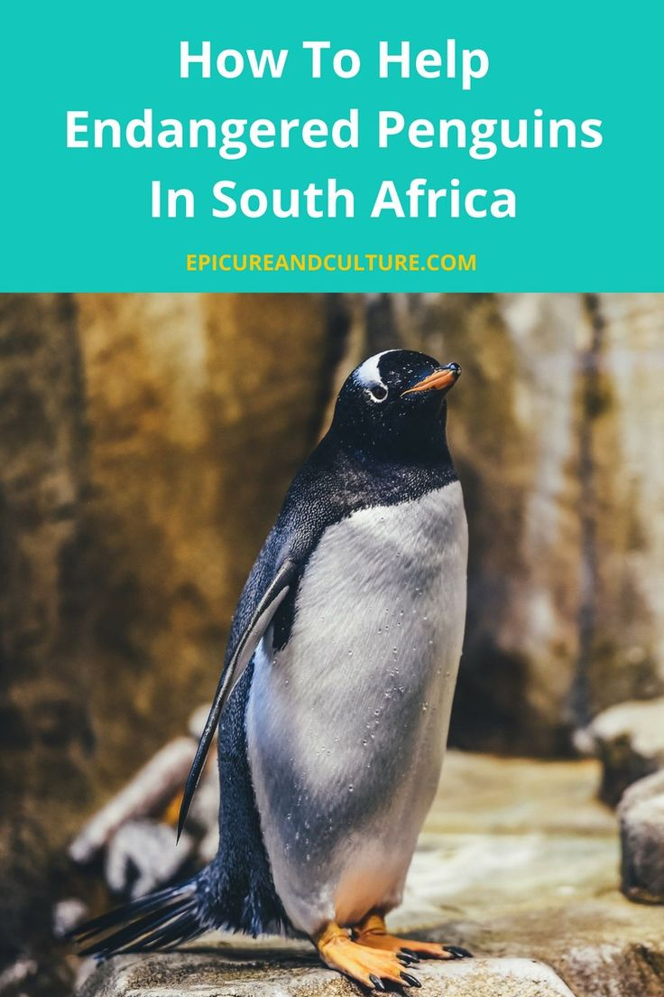 How To Help Endangered Penguins In South Africa