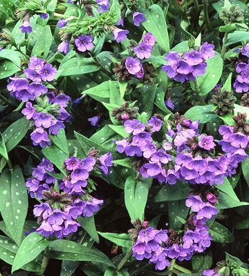 Lungwort--Drought tollerant-deer resistant easy to grow -sun-part sun-shade Zones 2-8