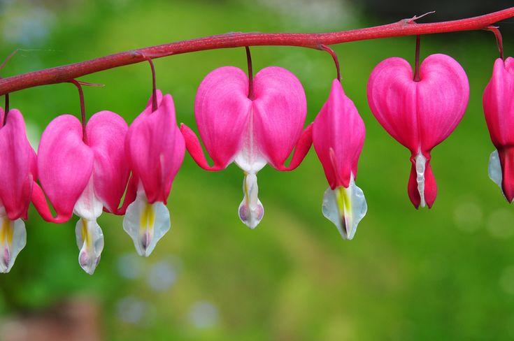 ハート型のかわいらしい花が茎から吊り下がって咲くタイツリソウ。かわいらしい見た目をしていますが、丈夫で育てやすく、ガーデニング初心者でも栽培が簡単だと人気です。今回は、そんなタイツリソウとはどんな植物なのか、花言葉や育て方を交えてご紹介します。 タイツリソウ(ケマンソウ)の花言葉とは? 『従順』『あなたに従い
