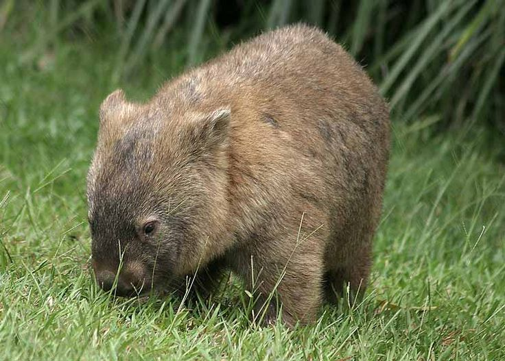 All Australian Animals | Wombat Pictures | Animals Gallery