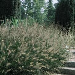 Lampborstgräs | Plantera det gärna i rabatter tillsammans med andra värmeälskande växter, t.ex. stäppsalvia, praktröllika och blå bolltistel.