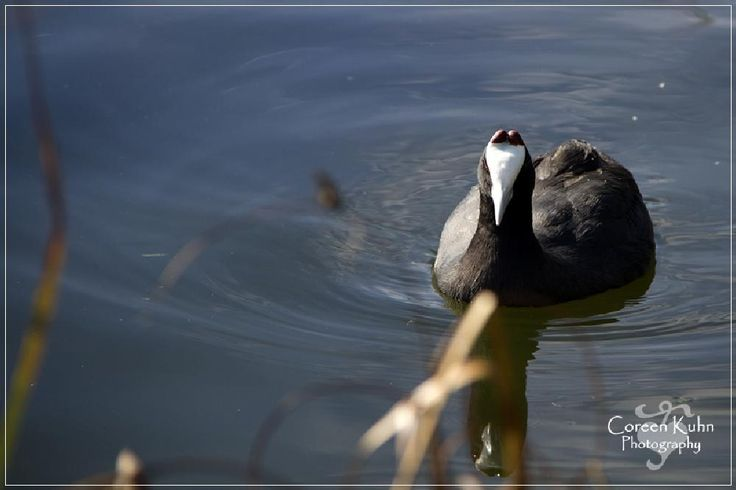 Red Knobbed Coot by CoreenKuhnPhotography