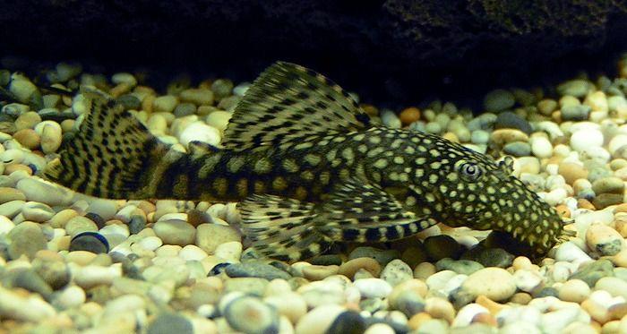 freshwater bottom feeder fish library wellheeled