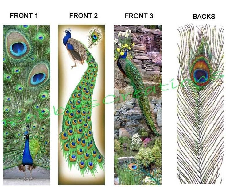 PEACOCKS BOOKMARKS Peafowl PEACOCK Tail Feather ART. Gives great ideas for pics of birds for bookmarks.