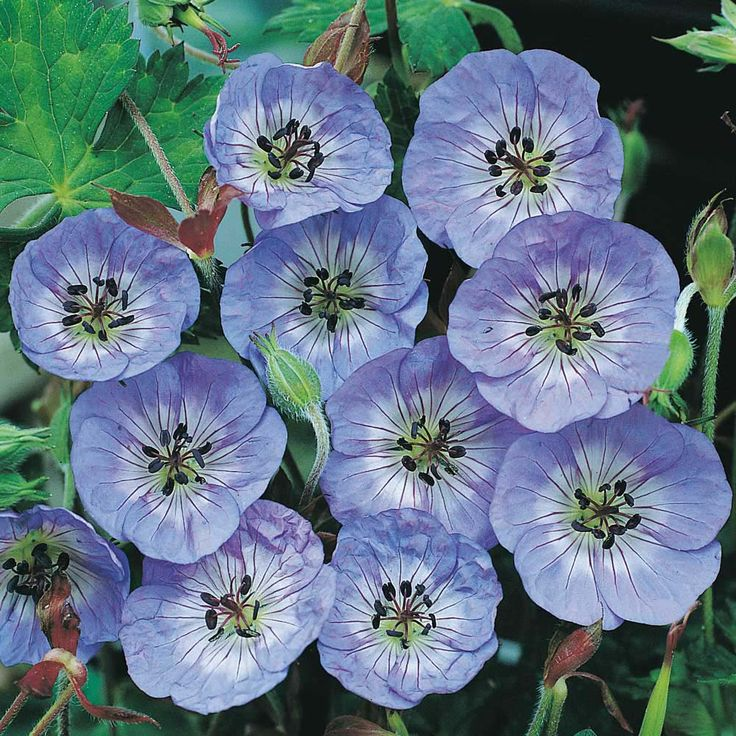 Hardy Geranium Buxtons Blue - Single Flowering Hardy Geraniums - The Vernon Geranium Nursery. Flowers non stop from summer through to autumn!