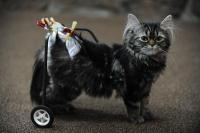 Flipper, a 9-month old kitten who has a broken back, is able to move around at Aspen Park Veterinary Hospital, thanks to a cart designed and manufactured by the Conifer High School Robotics team. (Seth A. McConnell, YourHub)