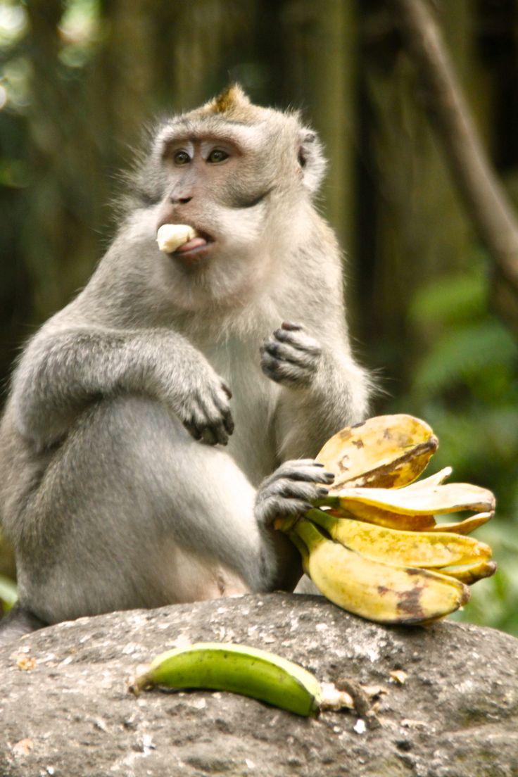 monkey in ubud bali