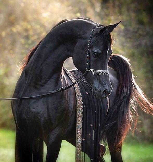 een zwarte arabier mijn lievelings paarden ras en lievelings vacht kleur is zwart