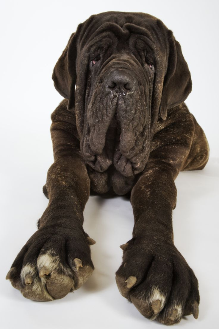 largest neopolitan mastiff | Neapolitan Mastiff Dog Breed Picture - Photo of Neapolitan Mastiff