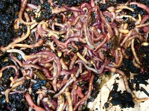 Thousands of Red Wiggler Worms, A Quick Peek! - YouTube