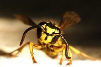 25+ best ideas about Bees And Wasps on Pinterest | Wasp