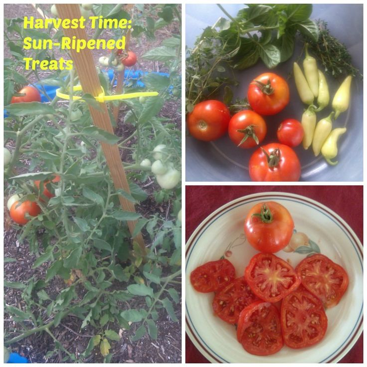 Sun Ripened Tomatoes From The Kiddie Pool Garden