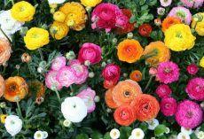 Boglárka........Top tippek rendelési Növények Online