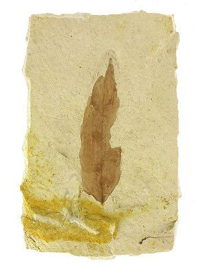 Foglio fossile di Salice, Fossiles Weidenblatt, Fossil Willow Leave Fl 001