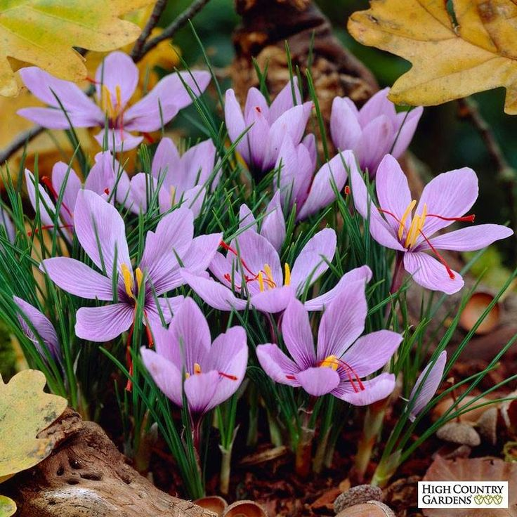 Saffron Crocus (Crocus sativus) blooms in autumn with lovely lilac petals enclosing three deep orange-red stigmas per flower. These are the source of what we know of as saffron, the world's most expensive spice. Not only are these lovely crocuses a source of visual candy in the fall, but you can harvest the spice yourself and enjoy them in recipes throughout the year. Plant your saffron Crocus bulbs as soon as they arrive in late summer. They will sprout and grow in about 6-10 weeks…