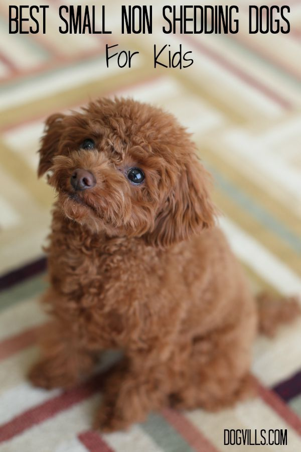Cute Little Non-Shedding Dogs That Will Adore Your Kids.        Get Piper this dog!