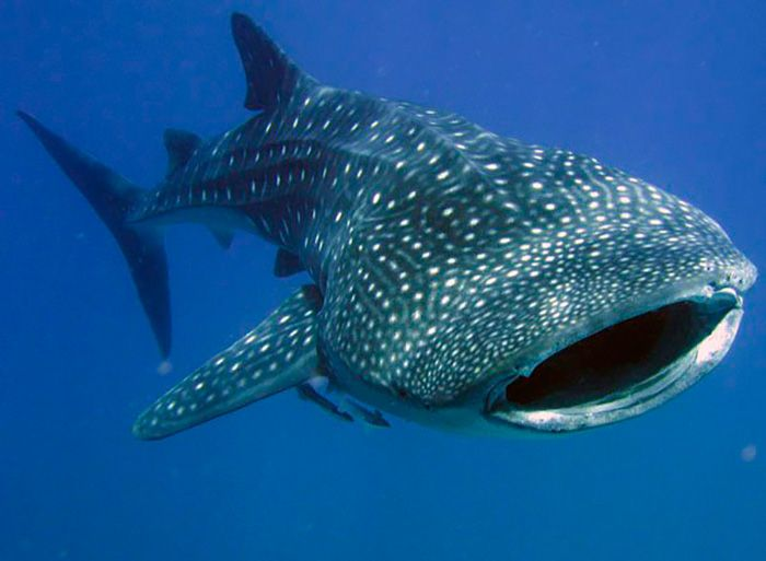 Китовая акула замечена у юго-западного побережья Пхукета http://bestthaitour.ru/blog/kitovaya-akula-zamechena-u-yugo-zapadnogo-poberezhya-pkhuketa/ На видео, размещенном на Facebook утром 12 июня, китовую акулу, играющую с рыбаками, можно увидеть крупным планом.«Мы плыли на нашей лодке в поисках рыбы, когда заметили, что вдоль борта плывет китовая пятнистая акула, которая явно не боится нас. Она плавала рядом с нами и играла. Мы просто смотрели на неё», написал в своём сообщении пользователь…