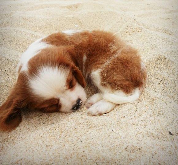 Cavalier King Charles Spaniel puppy at the beach