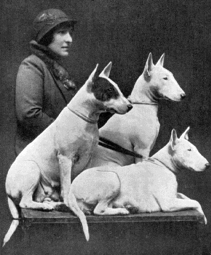 English Bull Terriers- note the squaring of the nose, not the roman nose now classed as breed standard