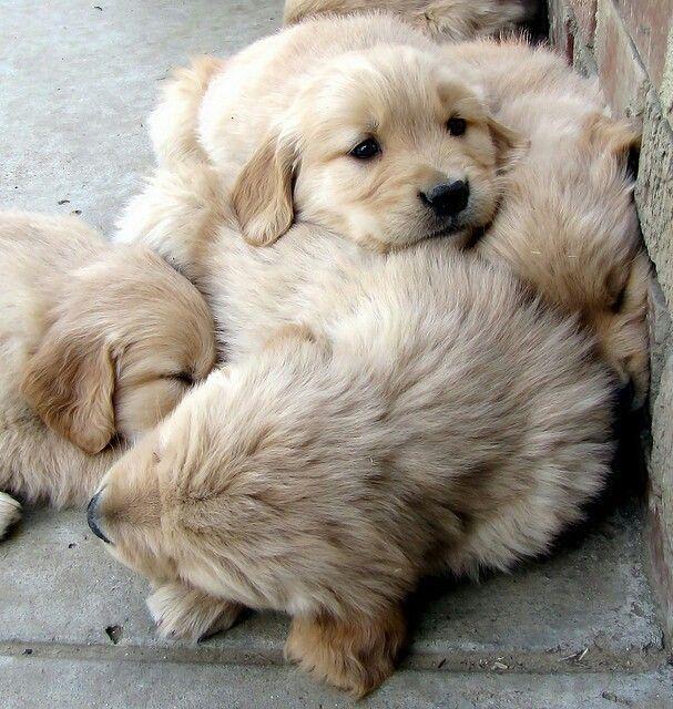 A fluffy pile of golden retriever puppies~