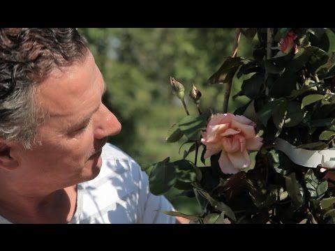 Hoe snoei je de kimroos in de zomer? - YouTube