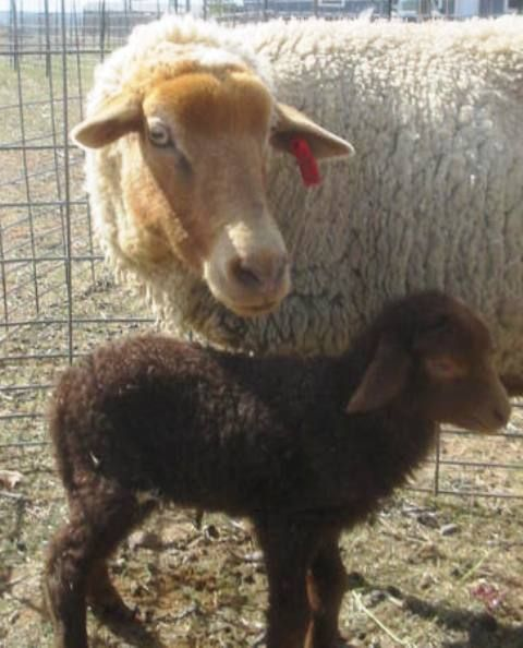 Image result for pictures of california red sheep and lambs