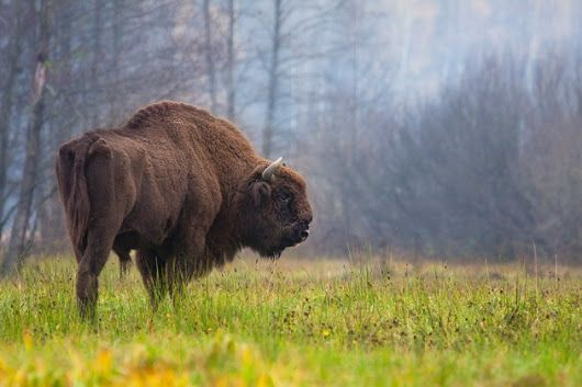 European bison is a hybrid of the Steppe bison and aurochs which are ancestors of american bison and modern cattle respectively according to genetic stu... - Able Lawrence - Google+