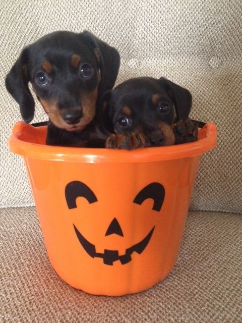 Are you ready for Halloween? Bismarck and Strudel are!Bismarck and Strudel are 7 week old dachshund miniature pinscher pups who were surrendered with their mom Rhubarb, a pie bald dachshund also up for adoption, after their human family could no...