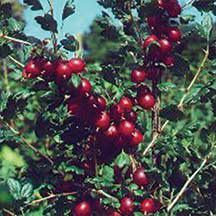 Captivator Gooseberry- Jumbo fruits on semi-thornless canes. This hybrid of a European and American species bred in Canada bears large, 1 inch, teardrop-shaped berries on a large, open bush that is both very hardy and mildew resistant. The fruit is green when immature, turning pink to full red when ripe with very sweet flavor. The berries hang in long-stemmed clusters making them easy to pick and ripen in midsummer. Ideal for jellies, jams and juice.