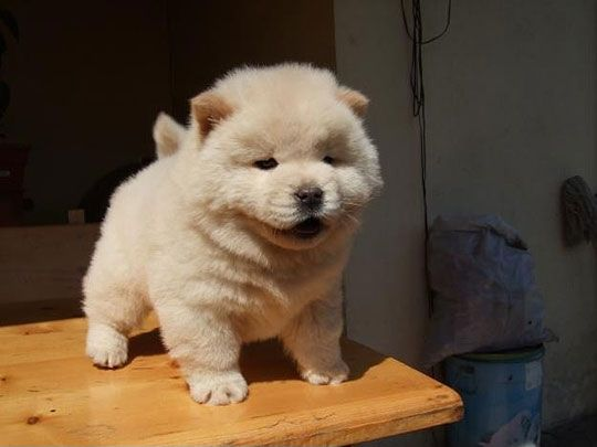 a chow chow puppy. I could just squish its fat little face. xD