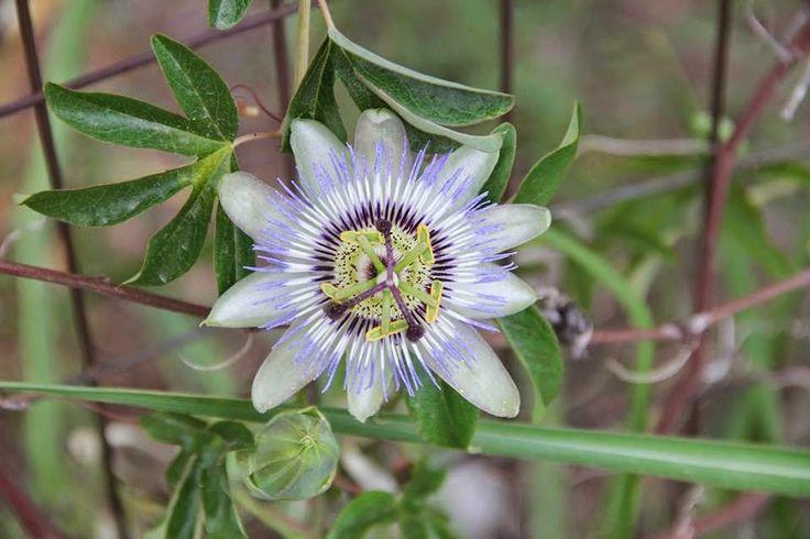 εν πλω σημειώσεις  φωτογραφίας : Το λουλούδι του πάθους  ,Το φυτό ρολόι ,Ρολογιά ,Α...