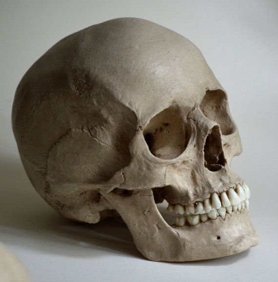 Museum Quality Skull Replica of a European Female. Accurate Reproduction Cast from a Real Skull in Resin-Gypsum Composite with Resin Teeth and Hand