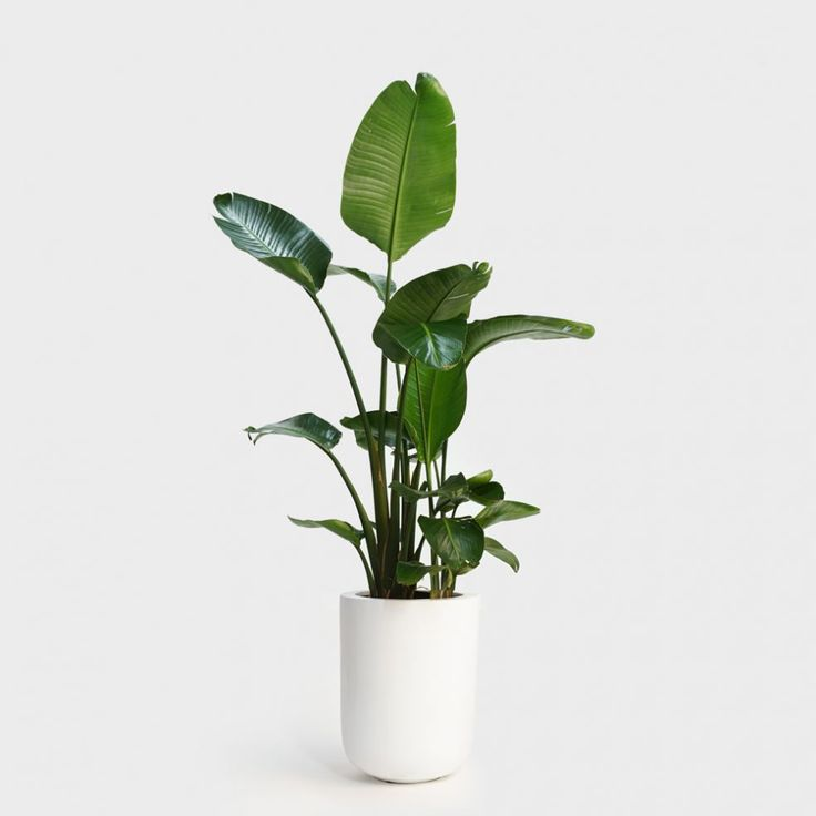 Bird of Paradise Plant in White Fiberglass Bullet