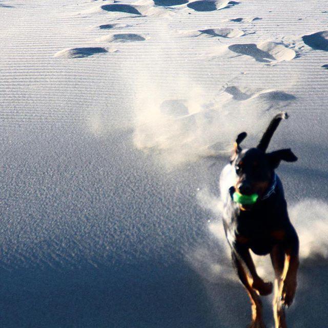 【ben.okazawa】さんのInstagramをピンしています。 《2017.2.6 ・ ちょっとBENが月面走ってるっぽい? ・ ・ ・ 成田空港までお見送り✈️ これから末っ子が、2ヶ月間の修行に に旅立ちます✈︎✈︎✈︎ ・ いいな〜南国 ・ ・ ・ ・ ・ ・  #doberman#instagram#instadobes#instadog#dobe#dog#bigdog#east_dog_japan#happydog#animals#insta_animal #rottweiler#instarottweiler#rottie#rottielove#japan#beach#sea#east_dog_japan#all_dog_japan #ドーベルマン#ロットワイラー#犬#大型犬#peco犬部#大型犬のいる生活#mix犬#海#日本#散歩》