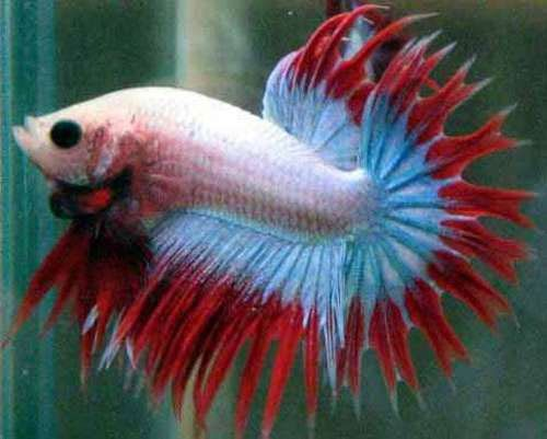 17 best images about fancy freshwater fish on pinterest for Petsmart betta fish price
