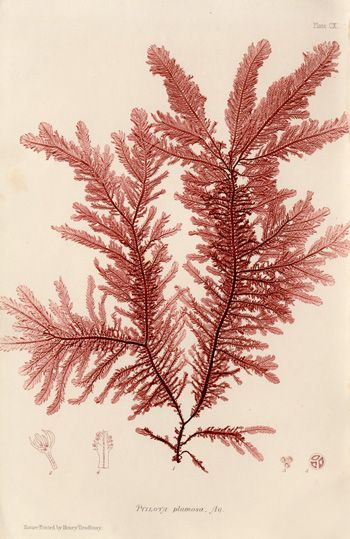 Antique prints of nature printed seaweeds by Henry Bradbury 1859 Love the prints on this website