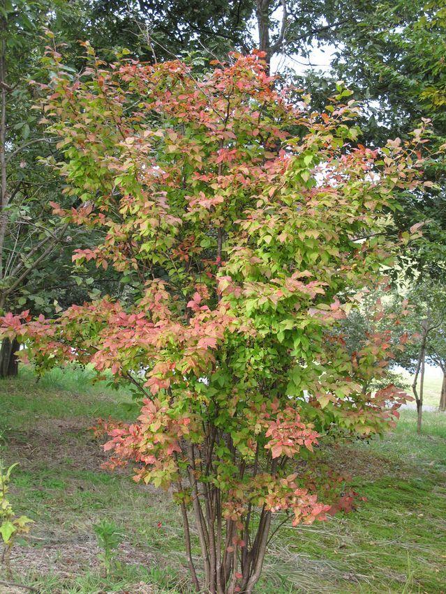 ナツハゼ:落葉低木。1〜3m。半日陰。