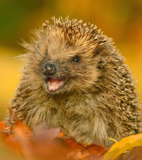 Wildlife photographer Ben Andrew captured this charming image of a hedgehog... 'laughing'.  Ben explains: 'It was taken in Bedfordshire, it is a hedgehog that I am currently in the final stages of feeding up before releasing back into the wild.