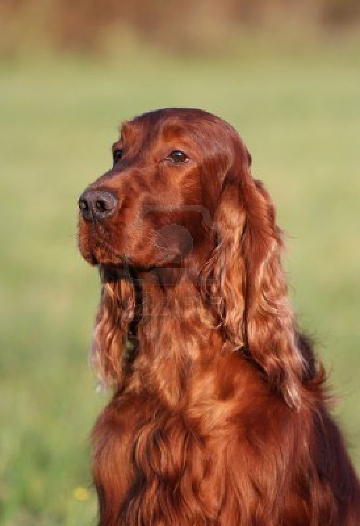 Worksheet. 140 best Irish Setters images on Pinterest  Animals Dogs and Beauty