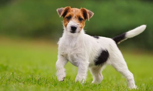 Parson Russell Terrier Dog Breed Information Guide