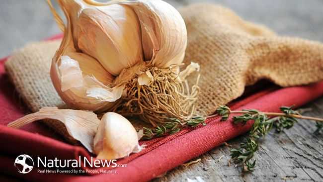 New studies show that eating raw, pulverized garlic every day reduces the risk of lung and bowel cancer quite dramatically – as much as 40% and possibly even more. It is thought that the primary reason behind the drastic reduction in cancer risk is the compound allicin. Thekey ingredientappears to be a chemical called allicin, …