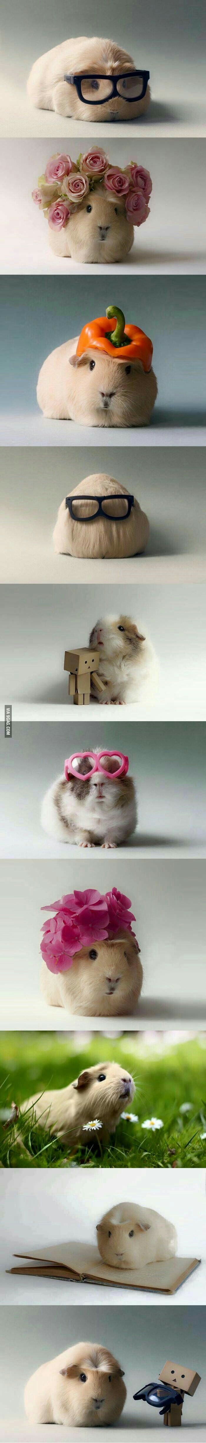 Funny guinea pig, getting all dressed up!
